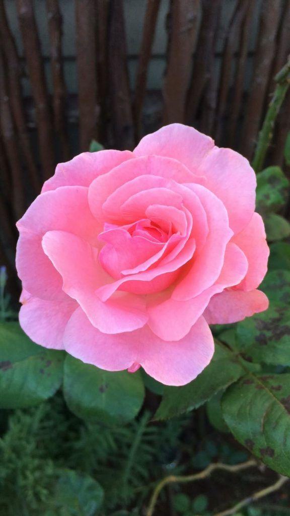 Flores comestibles Rosas