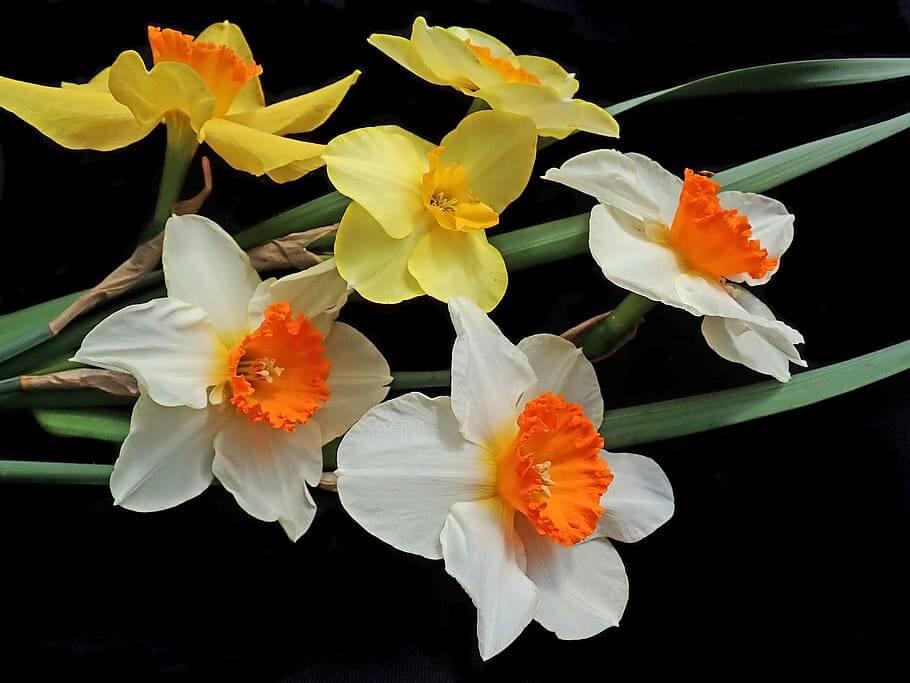 Flores de Navidad Narciso