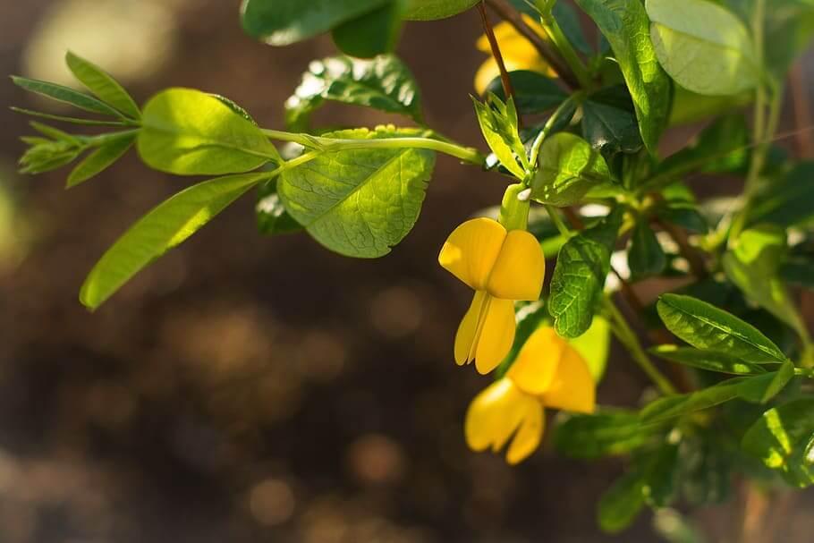 Flores de colores Acacias Amarillas