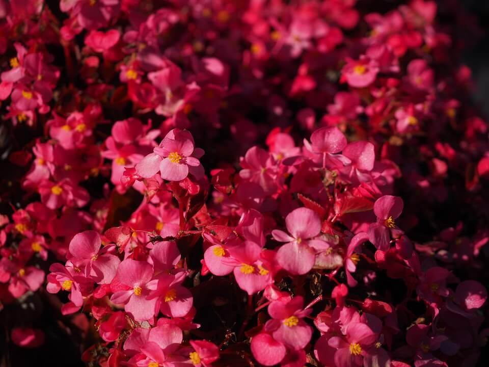 Flores de colores Begonia elatior