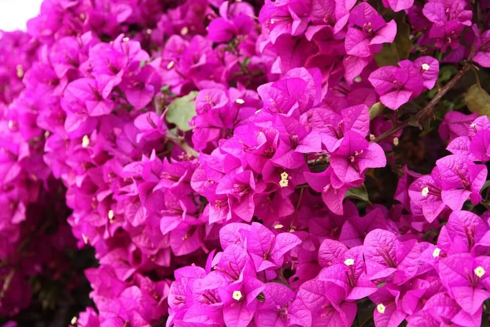 Flores de colores Buganvilia