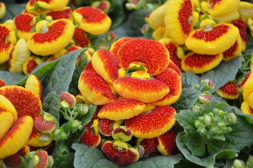 Flores de colores Calceolaria