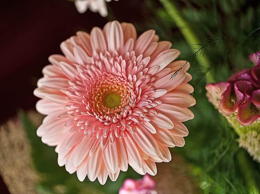 Flores de colores Gerbera Rosadas