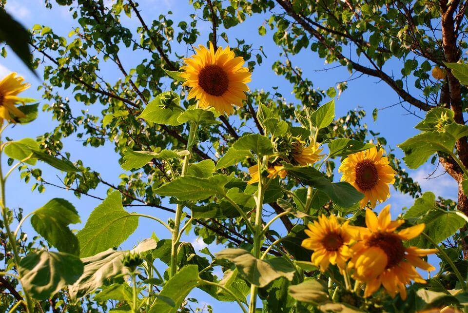 Flores de colores Girasol
