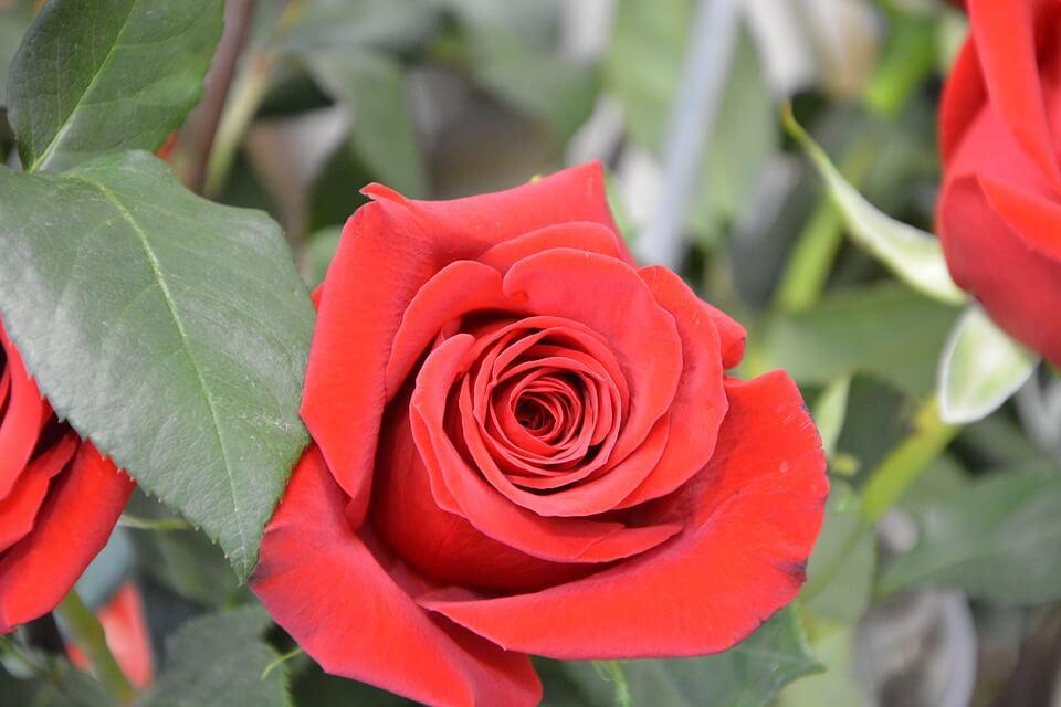 Flores de colores Rosas Rojas