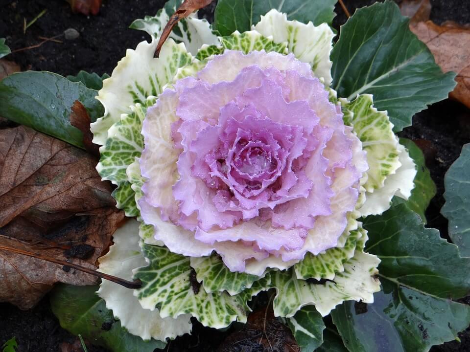 Flores de invierno Coles ornamentales