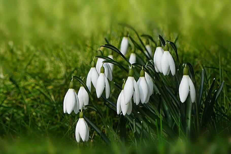Flores de invierno Galanto