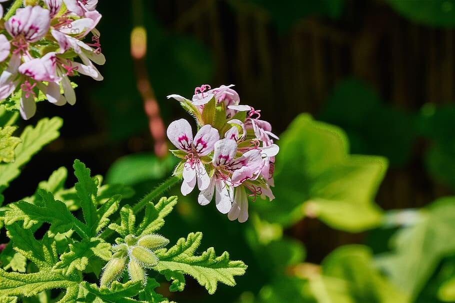 Flores de invierno Geranio de Limón