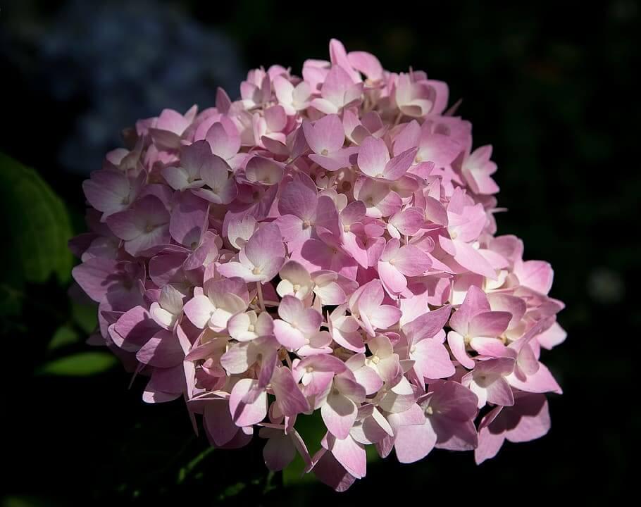 Flores de invierno Hortensia