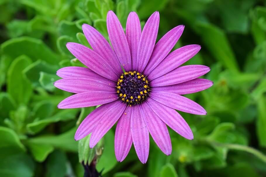 Flores de invierno Margarita Africana