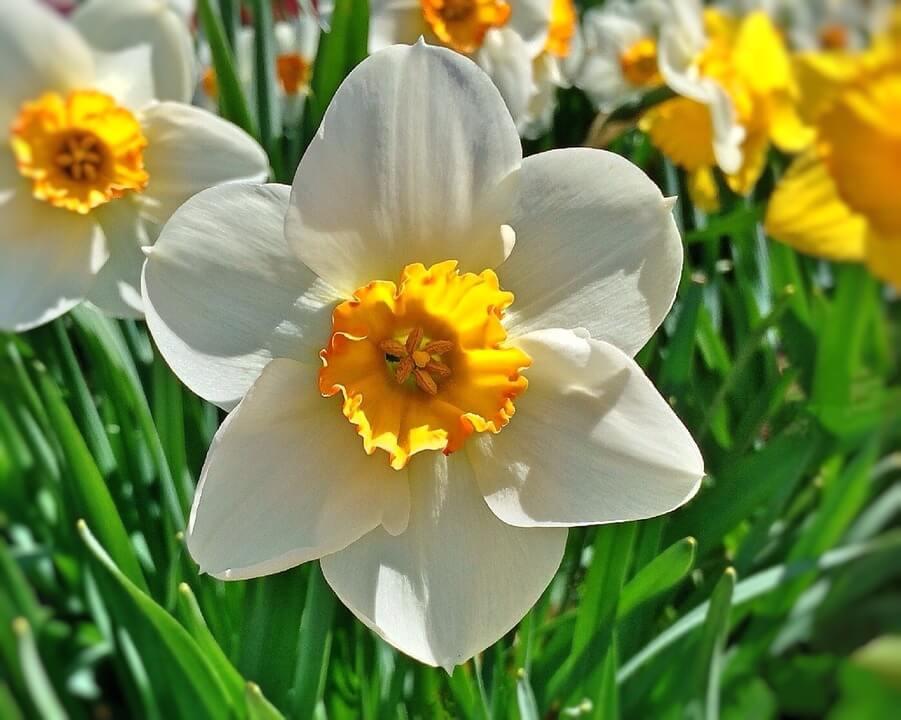 Flores de invierno Narciso
