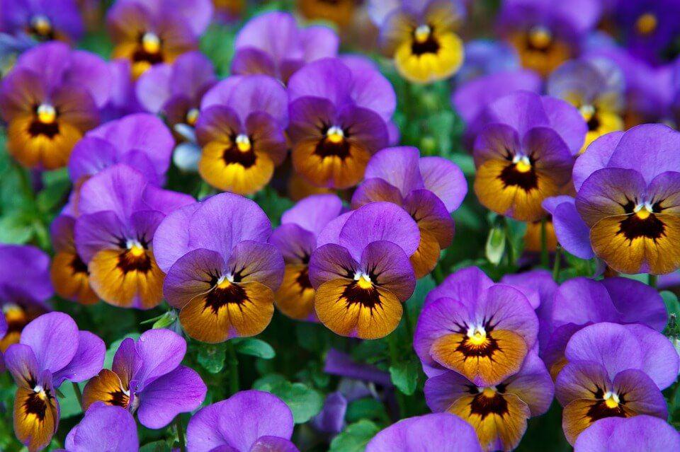 Flores de invierno Pensamiento