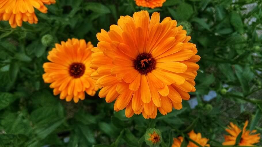 Flores de verano Caléndulas