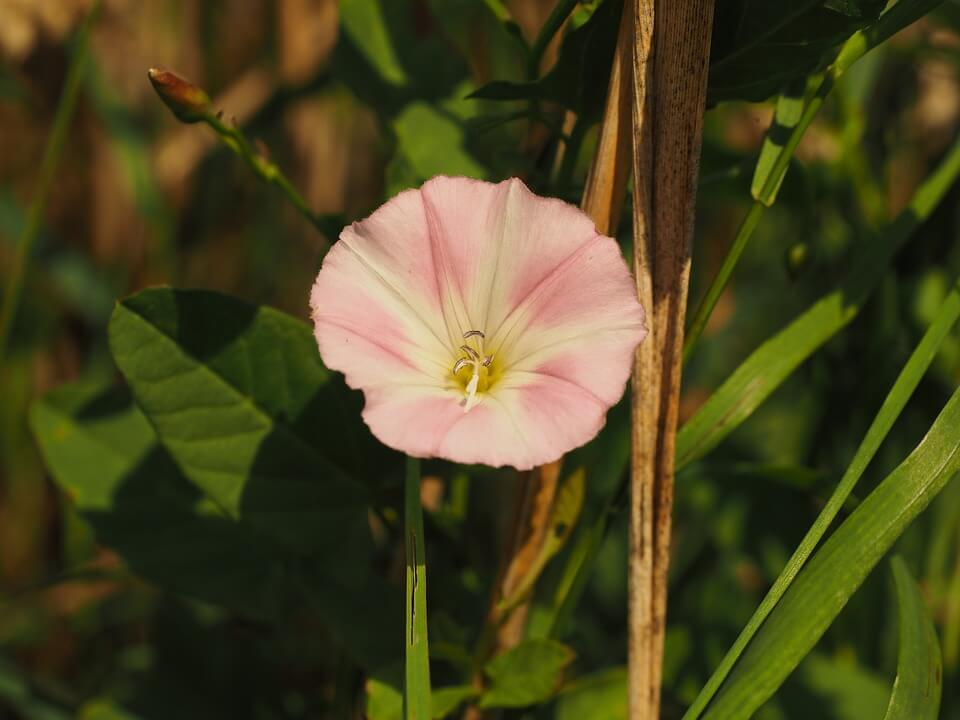 Flores de verano Convolvulus