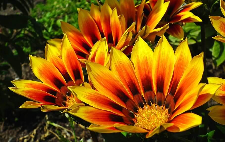 Flores de verano Gazania