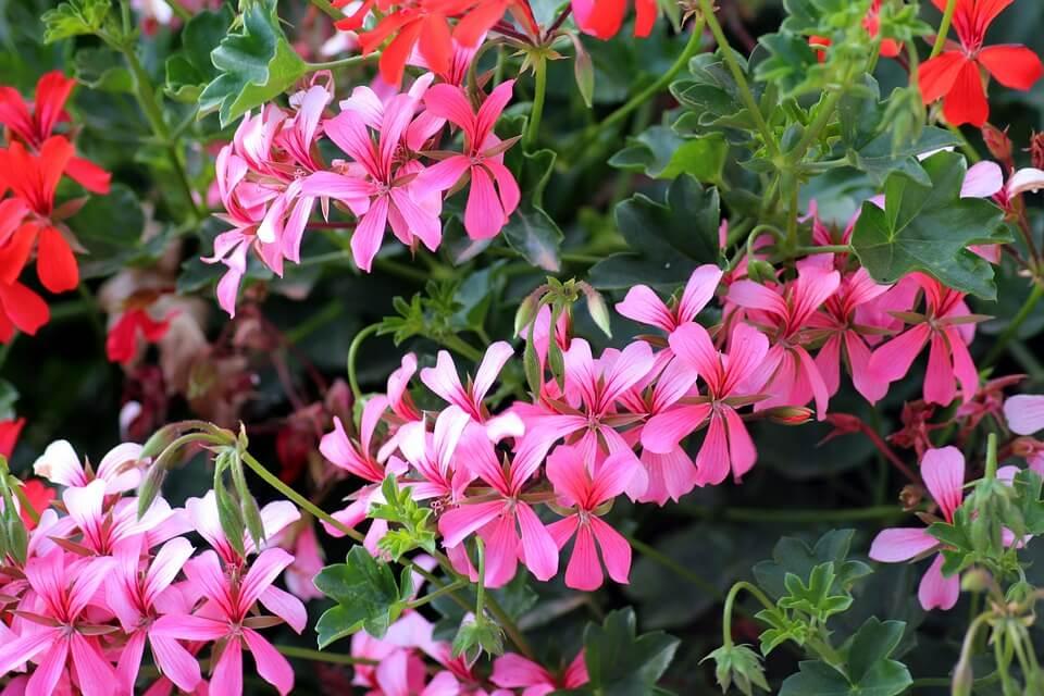 Flores de verano Geranios
