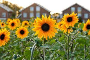 Flores de verano Girasol