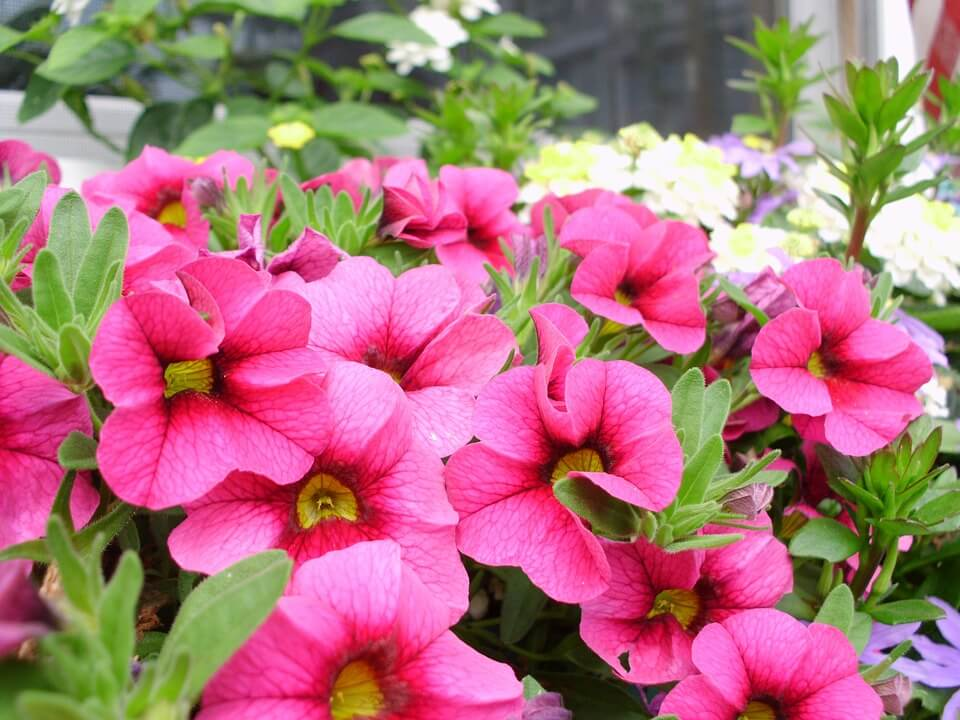 Flores de verano Petunias