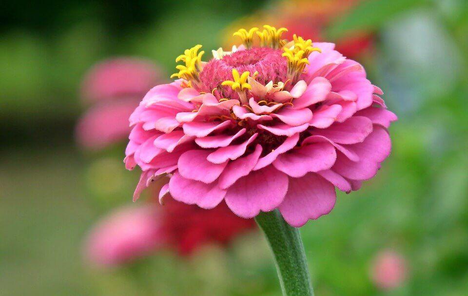 Flores de verano Zinnia