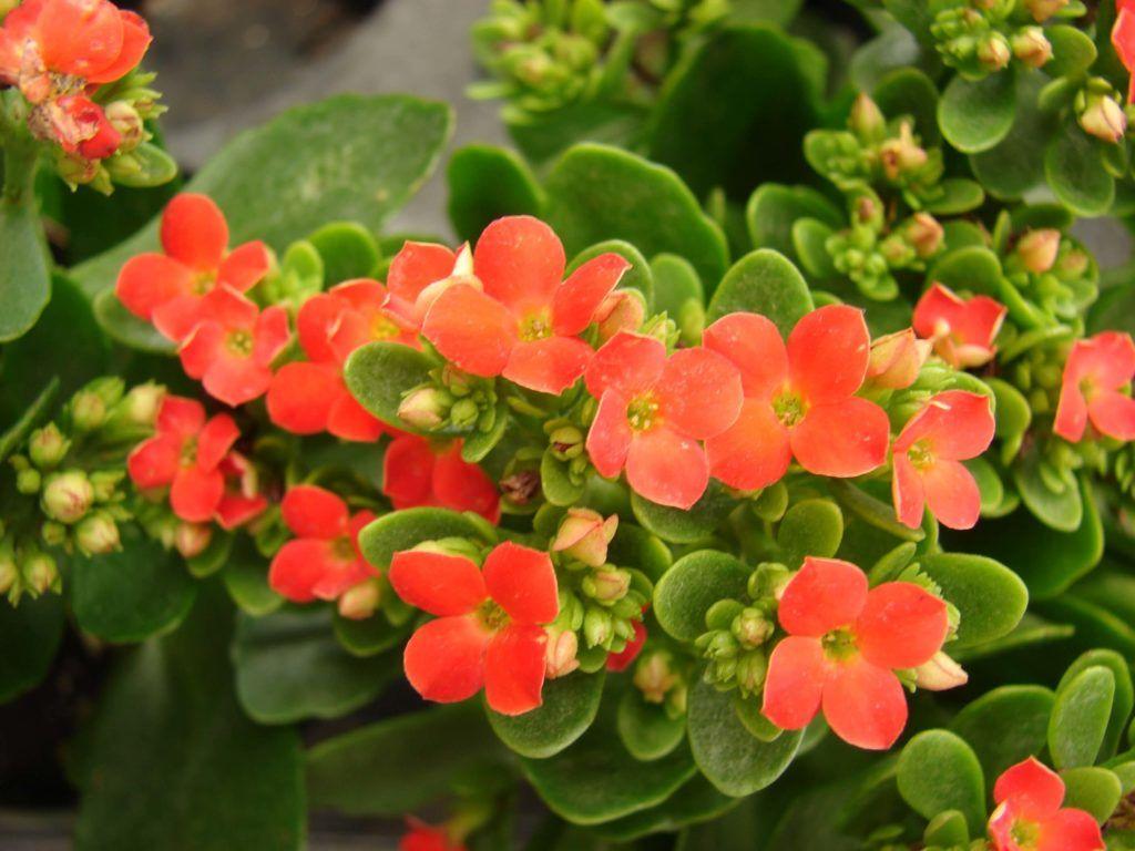 Flores llamativas Kalanchoe