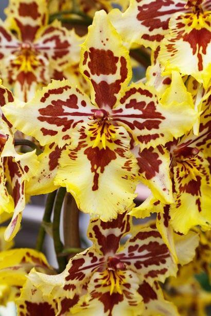 Flores llamativas Orquídeas tigre