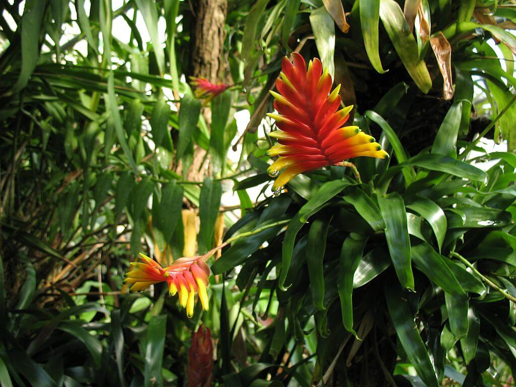 Flores llamativas Vriesea