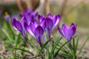 Flores moradas Azafrán con flores violetas