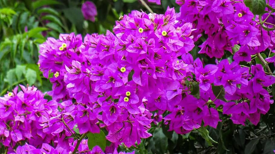 Flores moradas Buganvilla