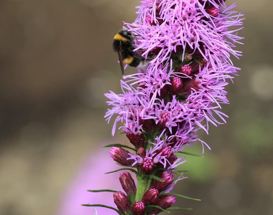 Flores moradas Liatris spicata