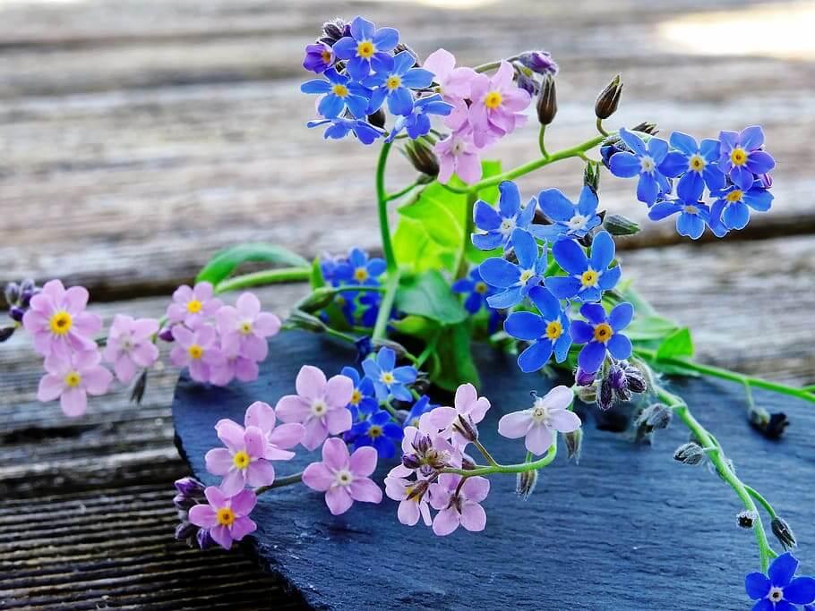 Flores moradas Myosotis sylvatica