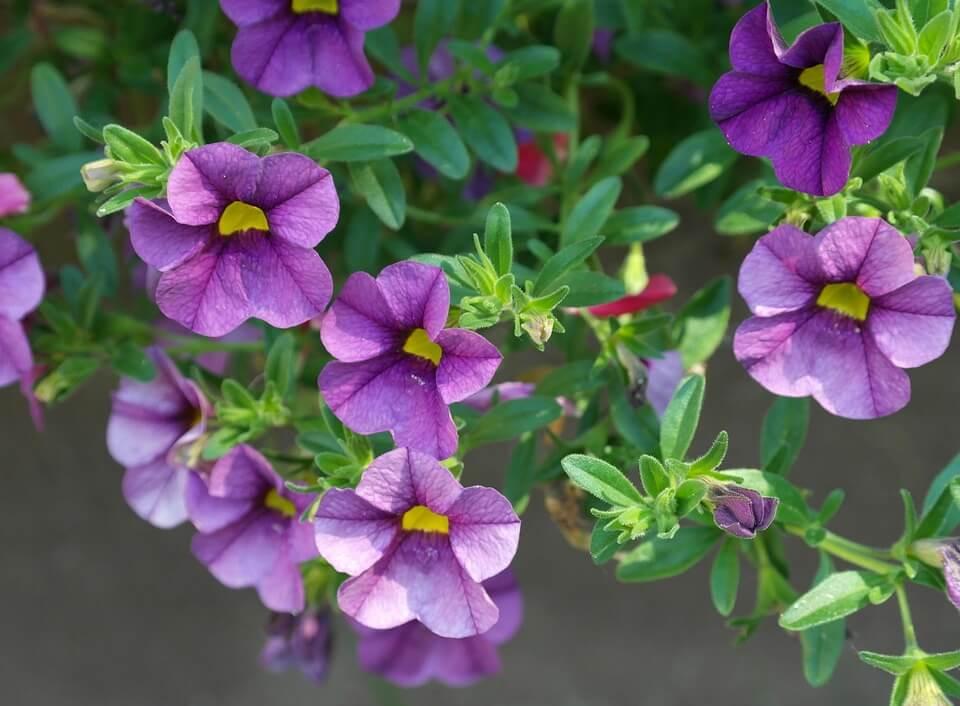 Flores moradas Petunia