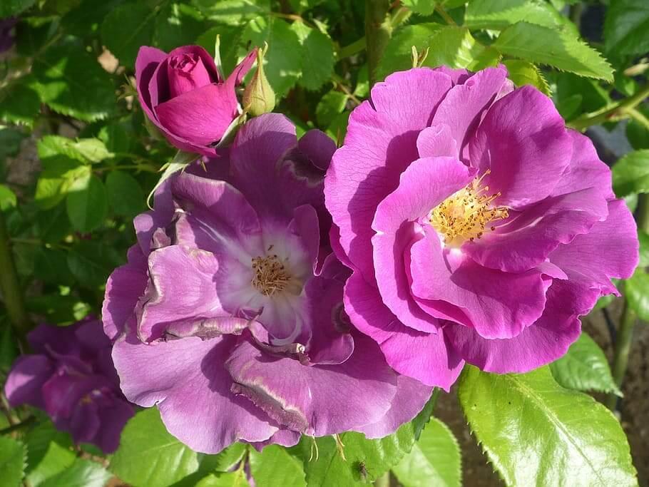 Flores moradas Rosa