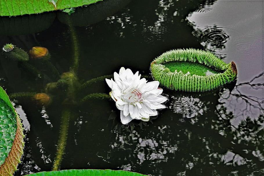 Flores ornamentales Acuáticas y pantanosas
