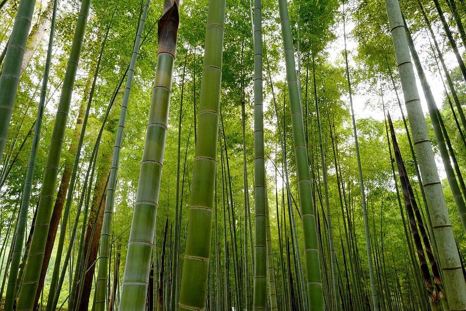 Flores ornamentales Bambúes
