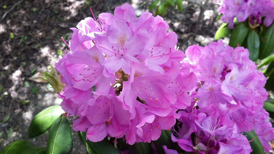 Flores ornamentales Plantas Perennes