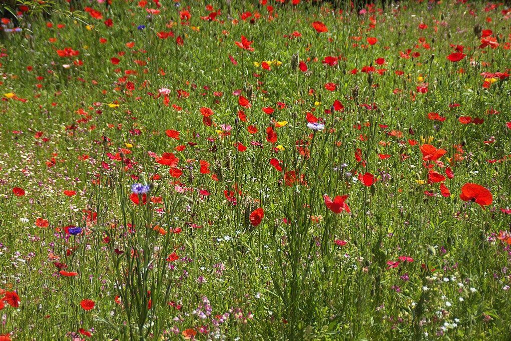 Flores ornamentales Praderas