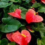 Flores Rojas: [Ejemplos, Tipos, Nombres y Características] 🌹