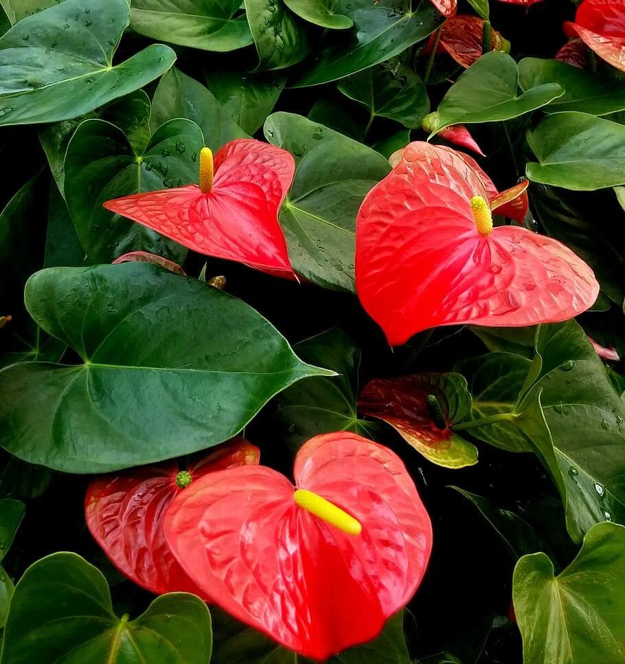 Flores rojas Anthurium