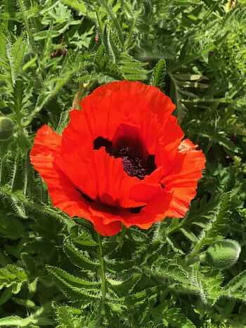 Flores rojas Clavel del monte