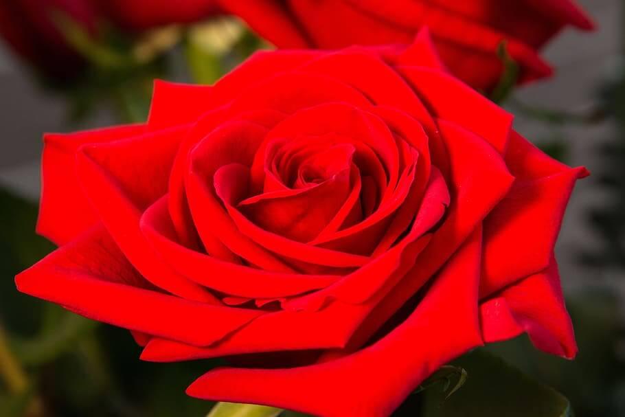 Flores rojas Rosas