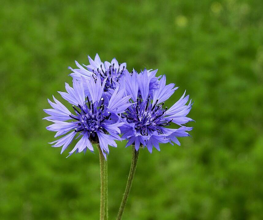 Flores silvestres Aciano