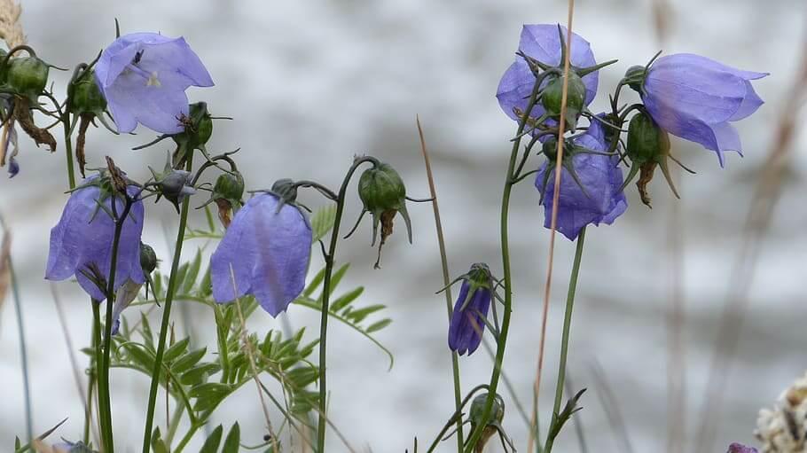 Flores silvestres Campanillas azules