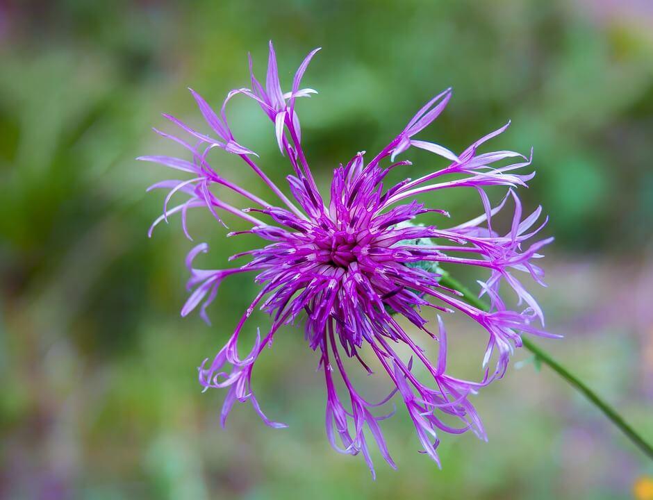 Flores silvestres Centaura mayor