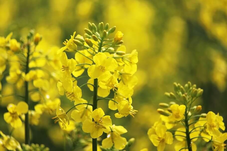 Flores silvestres Colza