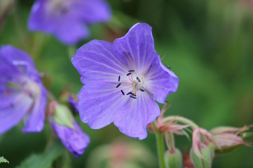 Flores silvestres Geranio de prado