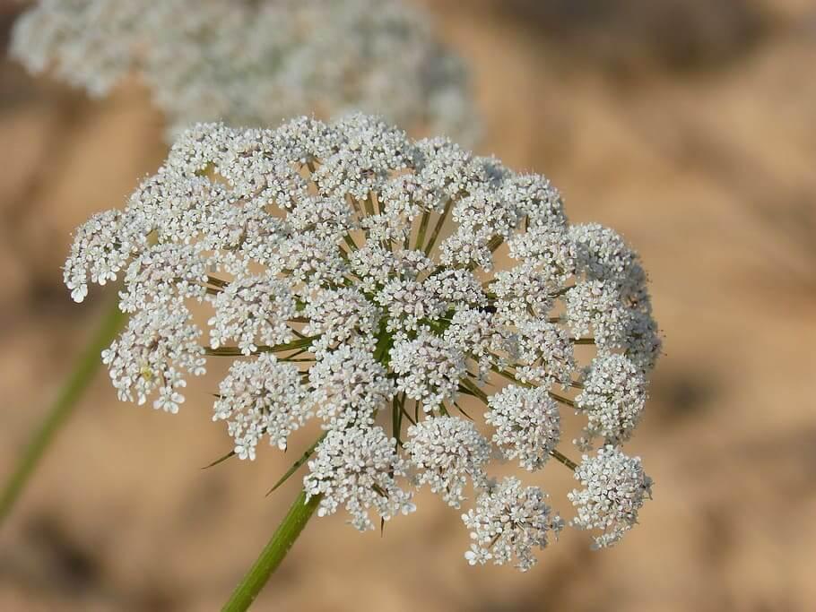 Flores silvestres Perifollo borde