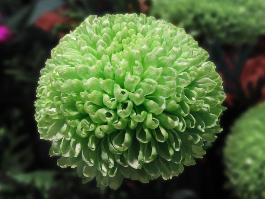 Flores verdes Crisantemo verde