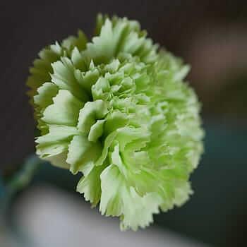 Flores verdes Dianthus caryophyllus o clavel