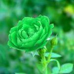 Flores Verdes: [Tipos, Listado, Nombres, Cultivo y Características]