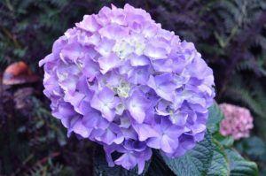 Historia y origen de la hortensia